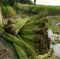 essays on value chain of jute products in bangladesh Welcome to jpia the jute products importers association of  array of products across the value chain  on imports of jute products from bangladesh by.